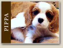 Cavalier King Charles Lacey