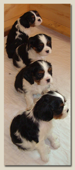 Cavalier King Charles Puppies 1